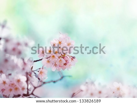 Cherry blossom with soft pastel blue background - stock photo
