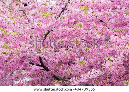 cherry blossome in Japan - stock photo