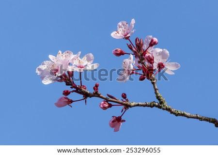 Cherry blossoms - stock photo