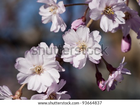 Cherry blossoms - stock photo