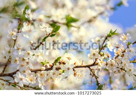 Cherry blossoms a blue sky, Honey bee flying to the White blooming flowers