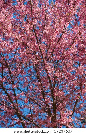 cherry blossoms against the blue sky - stock photo