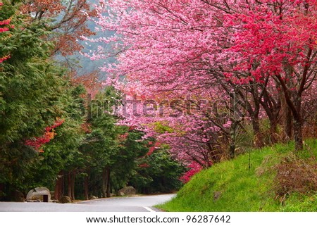 cherry blossoms along a road - stock photo