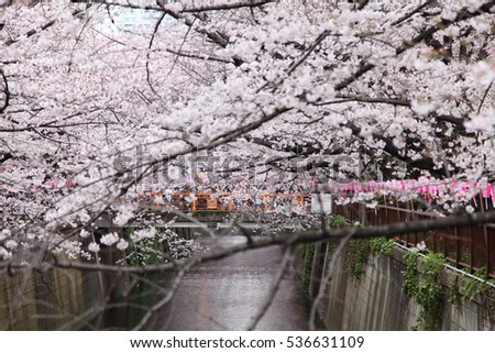 Cherry Blossoms Along the Meguro River in Tokyo Japan