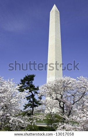 Cherry blossoms and pine tree in front of Washington Monument