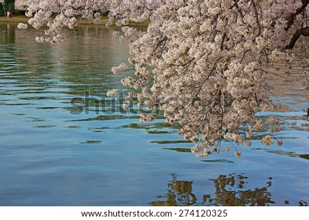 Cherry blossoms and their reflections in Tidal Basin. Flowers abundance during a cherry blossom festival in Washington DC, USA. - stock photo