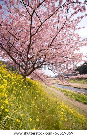 Cherry blossoms and yellow flowers and river. - stock photo