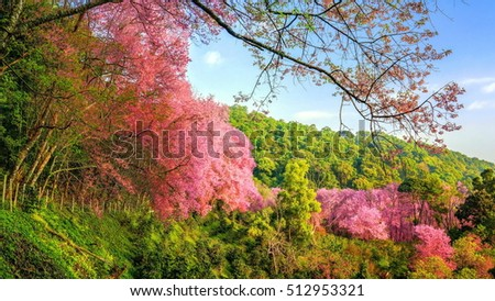 Cherry blossoms are blooming in northern Thailand. Cherry blossoms bloom in Chiang Mai of Thailand country.Mountain view.