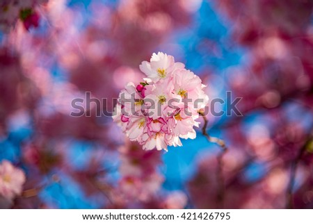 Cherry blossoms are blooming with nice baby blue sky - stock photo