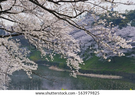 Cherry blossoms around  Chidorigafuchi imperail  - stock photo