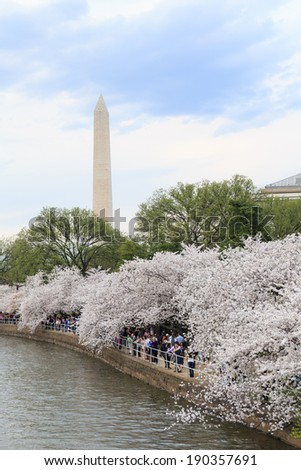 Cherry blossoms around the Tidal Basin in Washington DC with the Washington Monument - stock photo