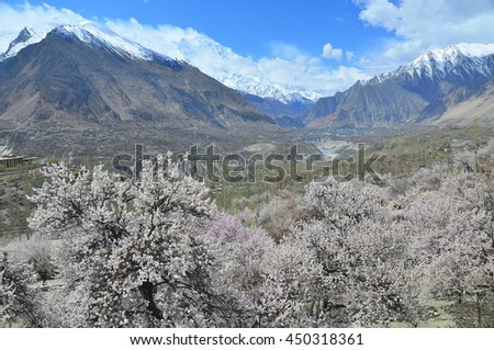 Cherry blossoms at Hunza valley with Karakorum mountains in northern of Pakistan  - stock photo