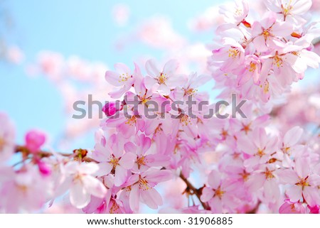 Cherry blossoms at Inokashira park, Tokyo - stock photo