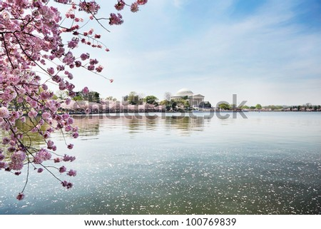 Cherry blossoms at Jefferson Memorial in Washington DC - stock photo