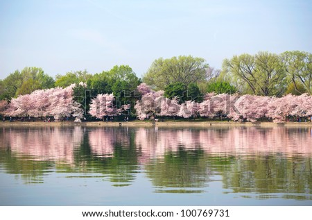 Cherry blossoms at the Tidal Basin in Washington DC - stock photo