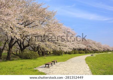 Cherry blossoms bloom path of Kitakami Tenshochi, Iwate, Japan - stock photo
