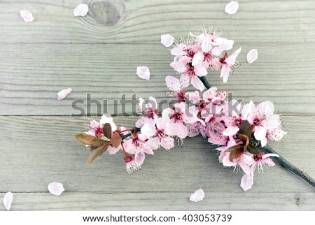 Cherry blossoms. Cherry blossoms on wooden background. Cherry blossoms card with copy space. Cherry blossoms - spring flowers. Cherry blossoms and petals.  Cherry blossoms on old wood background.  - stock photo