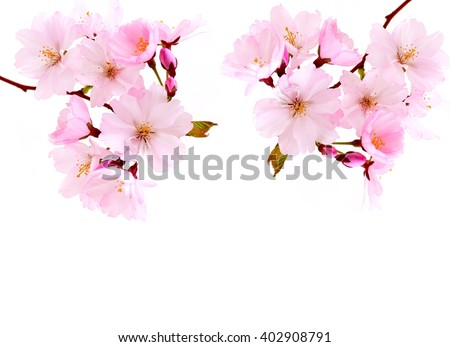 Cherry Blossoms. Cherry Blossoms - spring pink flowers. Cherry blossoms - beautiful spring flowers in nature  - stock photo