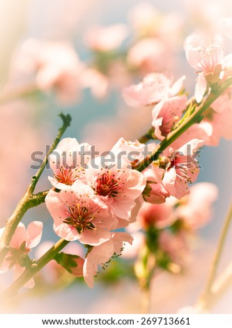 Cherry blossoms close up - stock photo