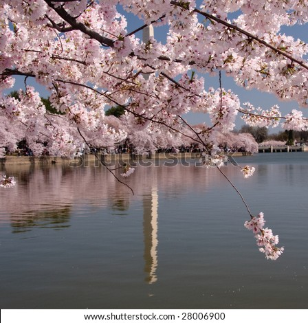 Cherry blossoms dominate the scene allowing only the reflection of the Washington Monument to be seen - stock photo