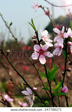 cherry blossoms flowers - stock photo