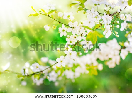 Cherry blossoms /Flowers of the cherry blossoms on a spring day/ - stock photo