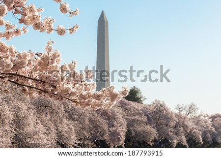 Cherry blossoms frame the Washington monument in Washington DC during Cherry Blossom Festival as the tidal basin reflects the blooms - stock photo
