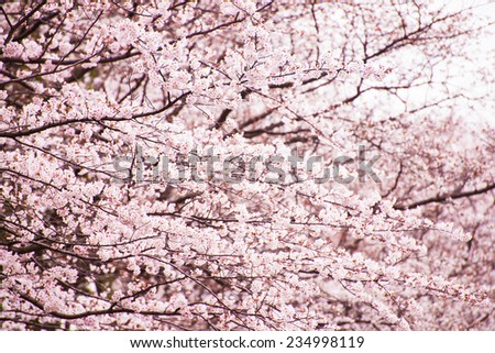 Cherry blossoms in full bloom. - stock photo