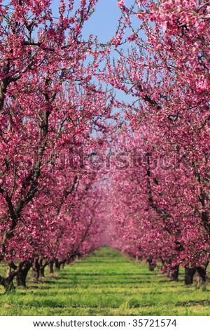 Cherry blossoms in full bloom in spring - stock photo