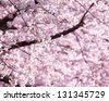 Cherry blossoms in full bloom in warm spring sunlight. - stock photo