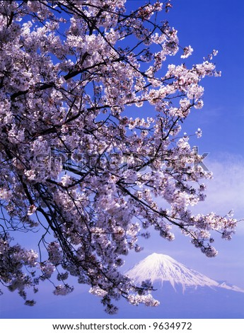 Cherry blossoms in full bloom with Mount Fuji in the background - stock photo