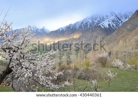 Cherry blossoms in Hunza valley northern Pakistan  with morning light , cloudy sky and view of karakorum range    - stock photo