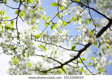 https://thumb7.shutterstock.com/display_pic_with_logo/167494286/1053208814/stock-photo-cherry-blossoms-in-japan-1053208814.jpg