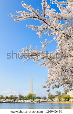Cherry Blossoms in peak bloom along the Tidal Basin in Washington DC with the Washington Monument in the background