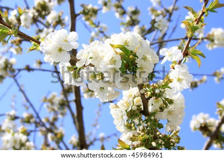 cherry blossoms in spring - stock photo