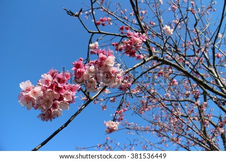 Cherry blossoms in spring and chrysanthemums in autumn are very popular
