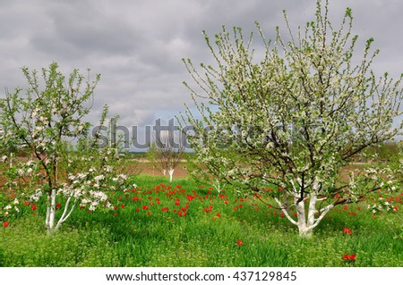 Cherry blossoms in the spring garden - stock photo