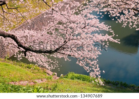 cherry blossoms in the springtime 1