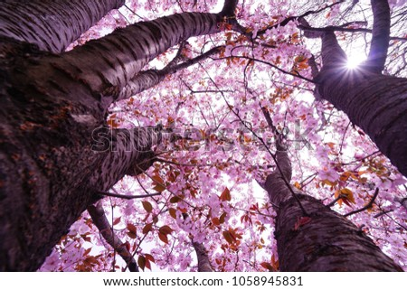 https://thumb7.shutterstock.com/display_pic_with_logo/167494286/1058945831/stock-photo-cherry-blossoms-in-tokyo-1058945831.jpg