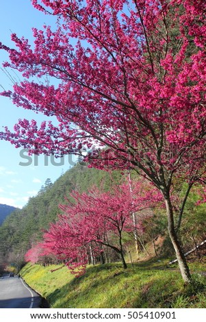 Cherry blossoms in Wuling Farm,Taichung City,Taiwan.