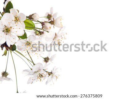 Cherry blossoms isolated on the white  background - stock photo