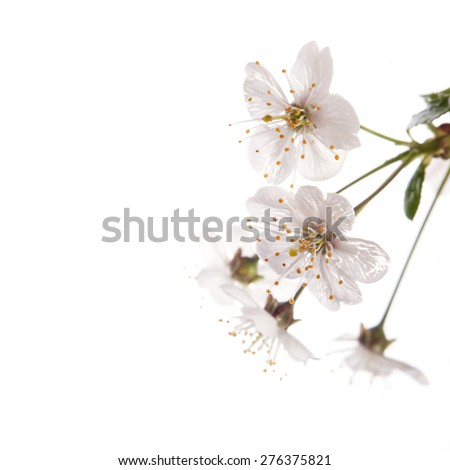 Cherry blossoms isolated on the white  background
