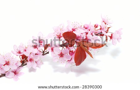 CHERRY BLOSSOMS isolated on the white background.