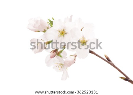 Cherry blossoms isolated on white background - stock photo