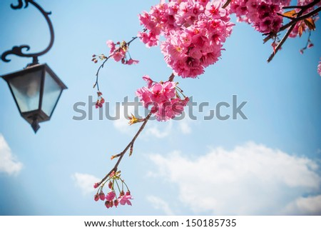 Cherry blossoms, located in the county-level city of Dali, Yunnan Province, China. Dali is now a major tourist destination, along with Lijiang, for both domestic and international tourists. - stock photo