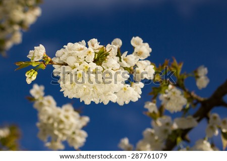 Cherry blossoms on a background of blue sky (shallow DOF). - stock photo