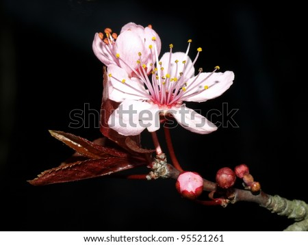 Cherry blossoms on a black background - stock photo