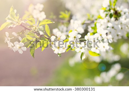 Cherry blossoms on a branch in the sunshine. Tonning photo