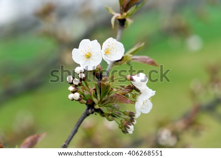 Cherry blossoms on a cherry tree / Cherry blossoms - stock photo