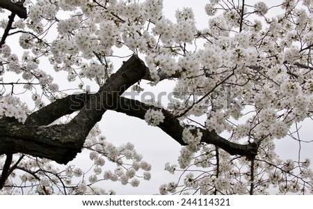 Cherry Blossoms on a Snowy Day - stock photo